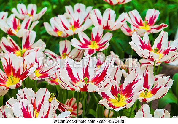 beau, printemps, flowers., tulipes - csp14370438
