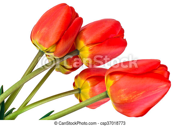 beau, printemps, fond, tulipes, fleurs blanches - csp37018773