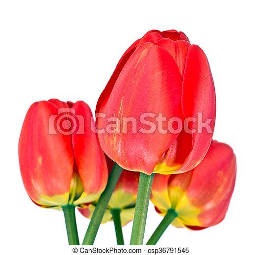 beau, printemps, fond, tulipes, fleurs blanches - csp36791545