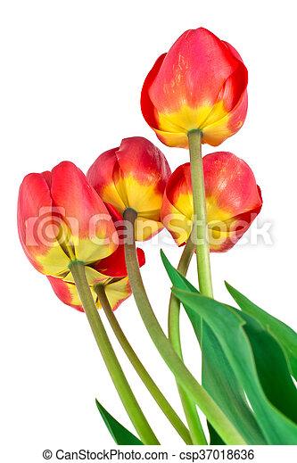 beau, printemps, fond, tulipes, fleurs blanches - csp37018636