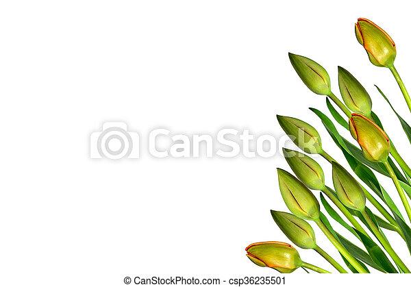 beau, printemps, isolé, arrière-plan., tulipes, fleurs blanches - csp36235501