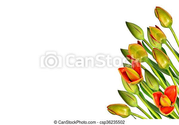 beau, printemps, isolé, arrière-plan., tulipes, fleurs blanches - csp36235502