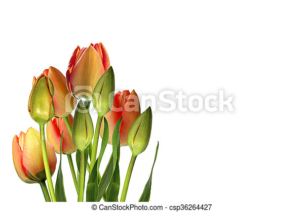 beau, printemps, isolé, arrière-plan., tulipes, fleurs blanches - csp36264427
