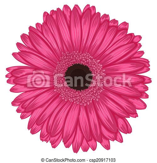 beau, rose, isolé, fond, blanc, gerbera - csp20917103