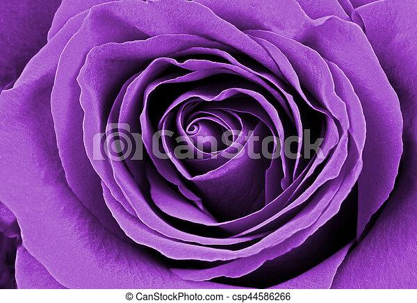 beau, rose, pourpre - csp44586266