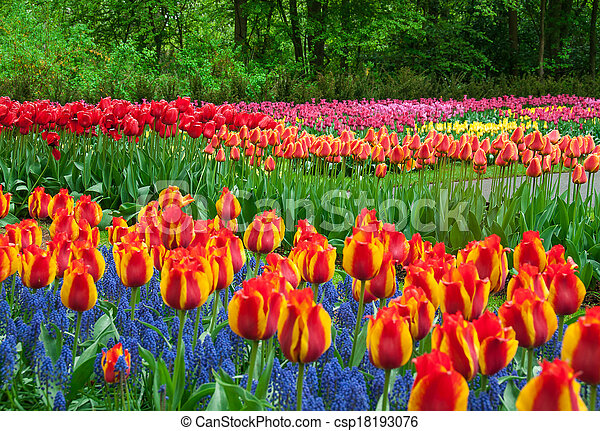 beau, tulipe, jardin, printemps - csp18193076