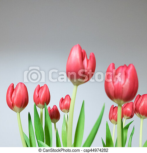beau, tulipes, bouquet, printemps, arrière-plan., fleurs blanches - csp44974282