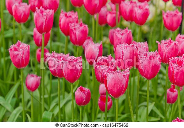 beau, tulipes, flowers., field., fond, fleurs ressort - csp16475462