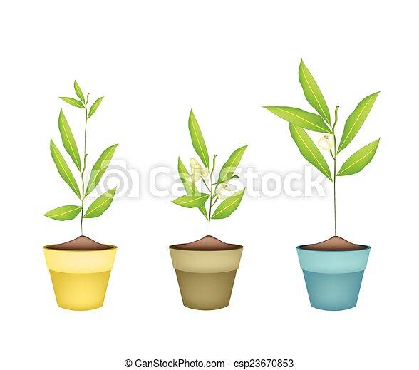 Beau ylang fleurs terracotta pots beau ylang ylang for Plante ylang ylang