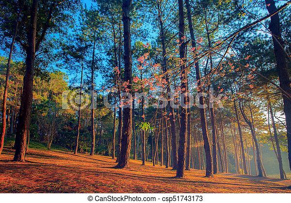 beautifuk sun light in pine wood of pang ung maehongsorn most popular winter traveling destination in northern of thailand