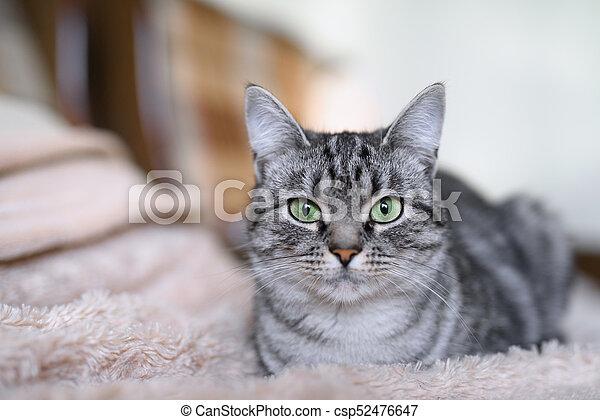 American Shorthair Cat Gray