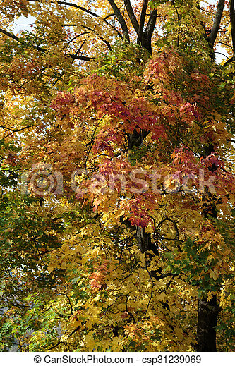 Beautiful autumn forest scenery with colorful leaves - csp31239069