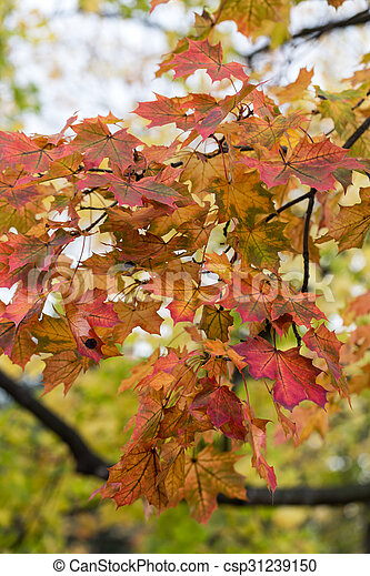 Beautiful autumn forest scenery with colorful leaves - csp31239150