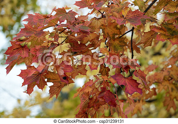 Beautiful autumn forest scenery with colorful leaves - csp31239131