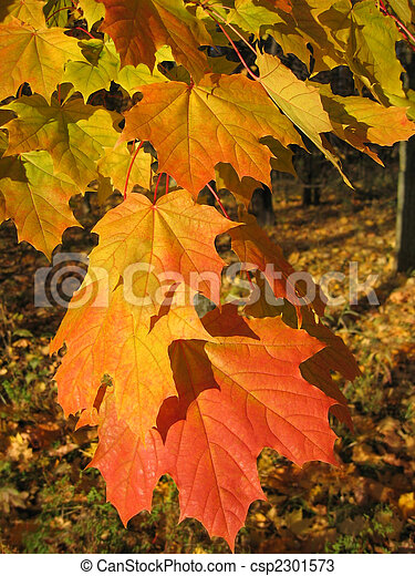 beautiful autumn leaves of maple tree - csp2301573