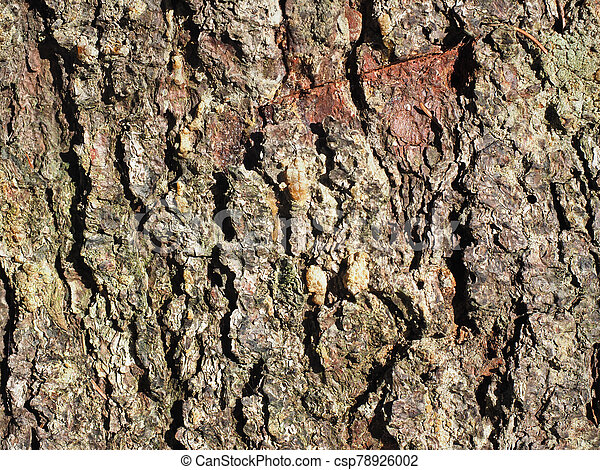 beautiful bark of spruce on a tree. background - csp78926002