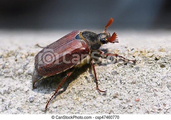 Beautiful beetle in nature. Cockchafer. Macro shot. - csp47460770