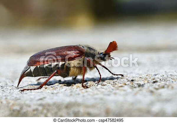 Beautiful beetle in nature. Cockchafer. Macro shot. - csp47582495