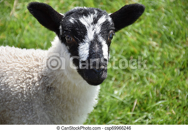 Beautiful Black and White Speckled Lamb in England - csp69966246
