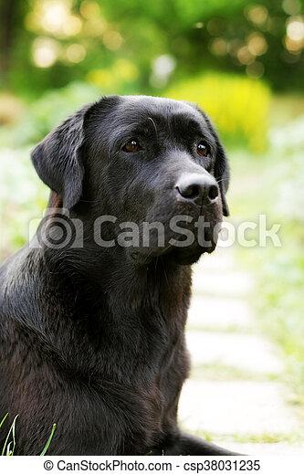 Beautiful Black Labrador Dog Retriever