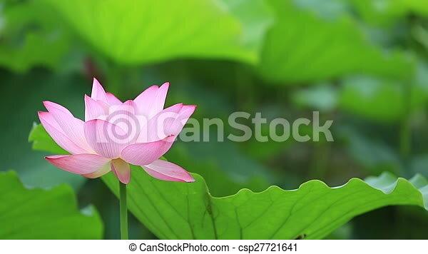 Beautiful blooming lotus flower in pond stock footage search stock beautiful blooming lotus flower in pond stock footage search stock videos movies digital video motion csp27721641 mightylinksfo