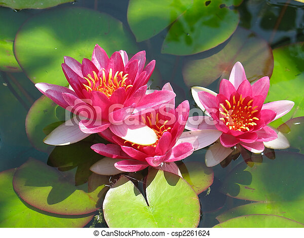 Beautiful blooming red water lily lotus flower with green leaves in the pond - csp2261624
