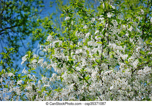 Beautiful blooming spring garden on a background of blue sky - csp35371087