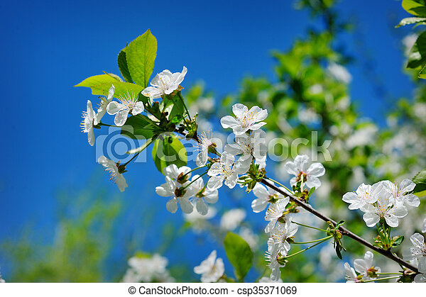 Beautiful blooming spring garden on a background of blue sky - csp35371069