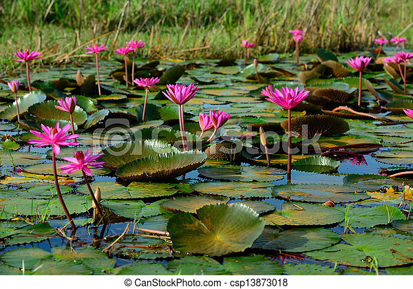Group of beautiful blossom lotus flower in thailand pond beautiful blossom lotus flower in thailand pond csp13873018 mightylinksfo