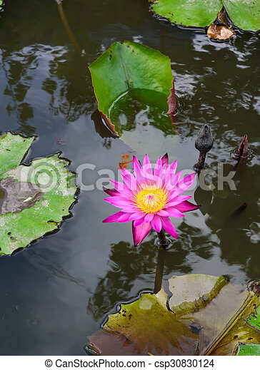 Beautiful blossom lotus flower in thailand pond reflect on stock beautiful blossom lotus flower in thailand pond reflect on water csp30830124 mightylinksfo