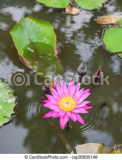 Beautiful blossom lotus flower in thailand pond reflect on stock beautiful blossom lotus flower in thailand pond reflect on water csp30830146 mightylinksfo