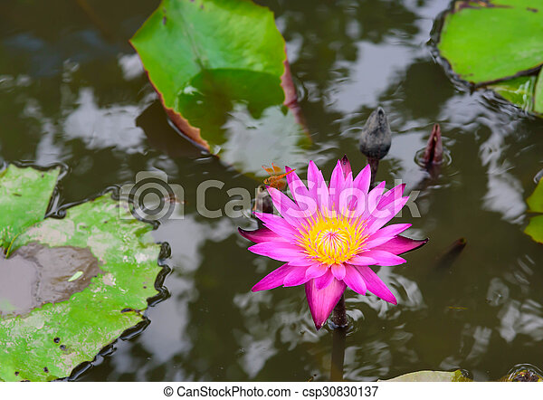 Beautiful blossom lotus flower in thailand pond reflect on stock beautiful blossom lotus flower in thailand pond reflect on water csp30830137 mightylinksfo