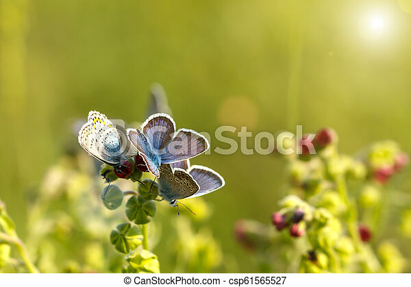 beautiful blue butterflies sitting on the grass on a Sunny day - csp61565527