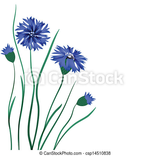 Beautiful blue cornflower isolated on white background - csp14510838