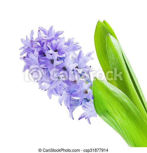 Beautiful Blue Hyacinth - csp31877914