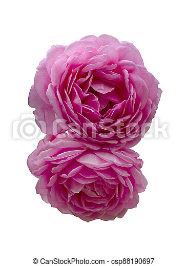 beautiful bouquet of pink roses isolated on a black background. - csp88190697