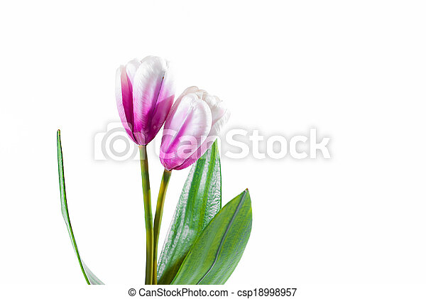 Beautiful bouquet of tulips on a white background - csp18998957