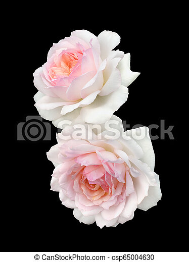 beautiful bouquet of white roses - csp65004630