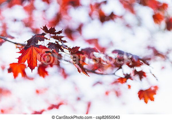 Beautiful branches of a Norway maple (Crimson King, Goldsworth Purple) with red leaves in sunlight. - csp82650043