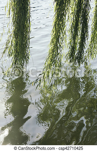 Beautiful branches of a Weeping Willow ,osier tree reflecting to the waters on a sunny day - csp42710425