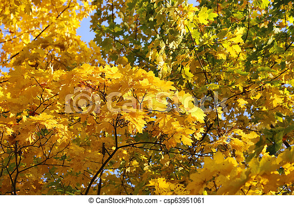 Beautiful branches of bright yellow autumn maple - csp63951061