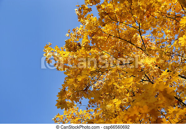 Beautiful branches of bright yellow autumn maple - csp66560692