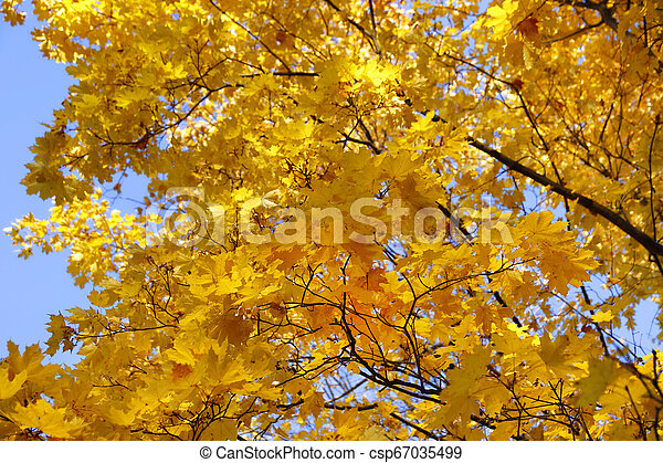 Beautiful branches of bright yellow autumn maple - csp67035499