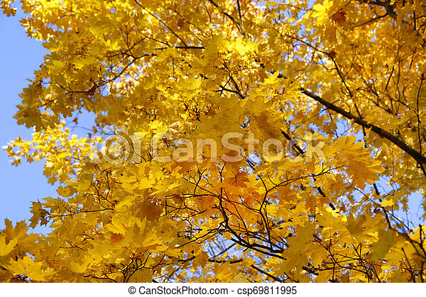 Beautiful branches of bright yellow autumn maple - csp69811995