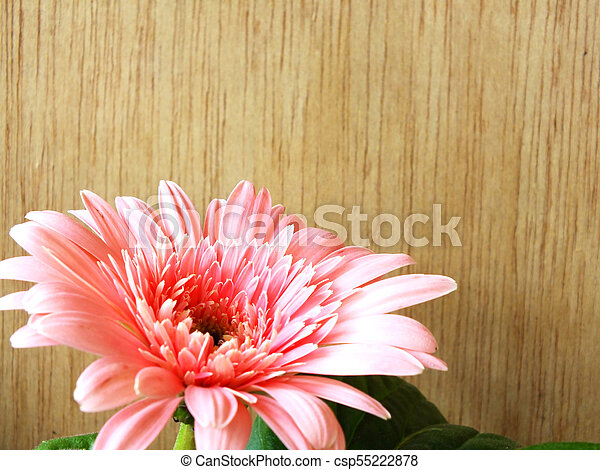 beautiful bright pink disy gerbera on wooden background - csp55222878