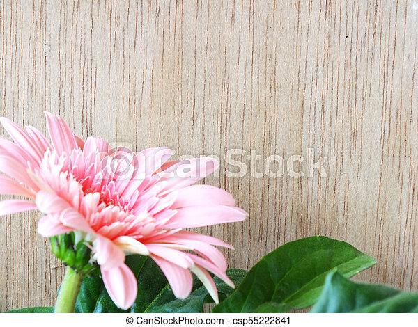 beautiful bright pink disy gerbera on wooden background - csp55222841