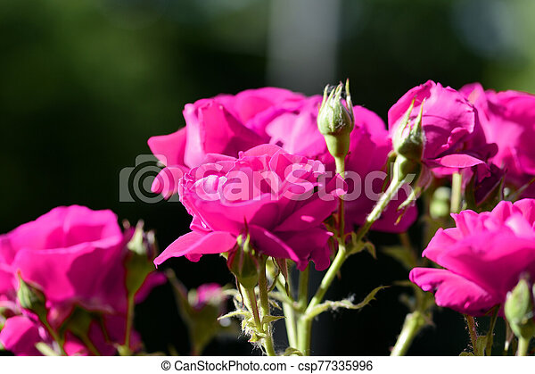 Beautiful bright pink roses lit by the bright sun in a summer garden close-up - csp77335996