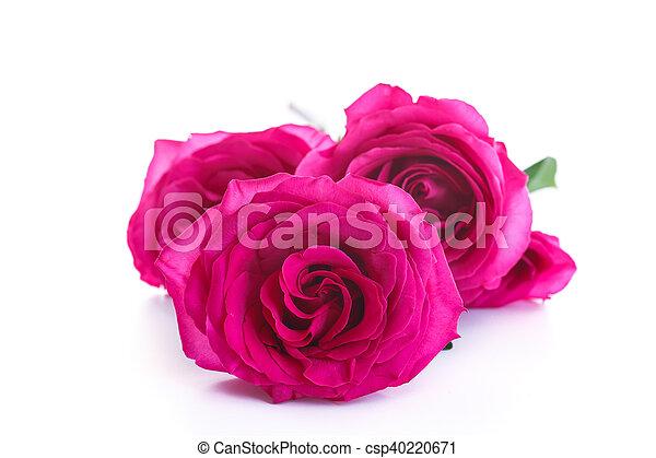 beautiful bright pink roses - csp40220671