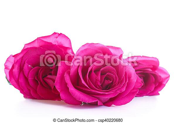 beautiful bright pink roses - csp40220680