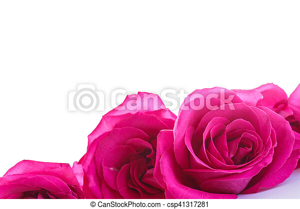 beautiful bright pink roses - csp41317281